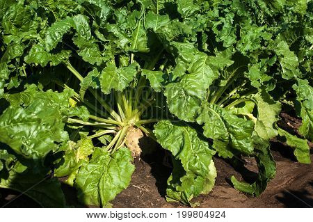 sugar beet Rootstock with green leaves on field