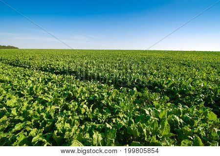 Sugar beet bright green leaves in field with blue sky
