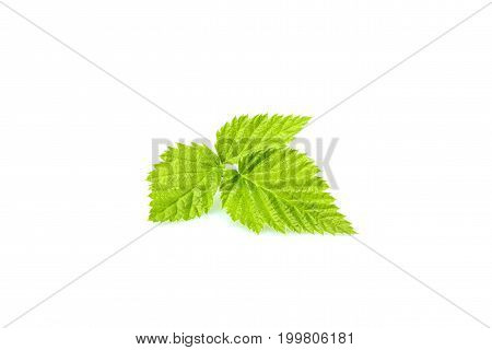 Isolated BlackBerry fresh leaf closeup on white background.