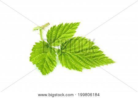 Fresh Blackberry leaf isolated on white background.