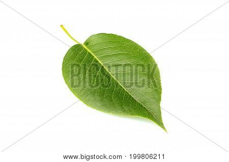 Fresh leaf of pear tree isolated on white background.