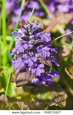 Blooming Escape Repucci Creeping (lat. Ajuga Reptans) In The Spring