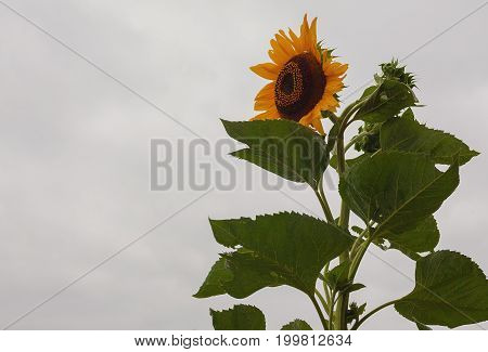 Just one tall sunflower details of leafs and flower.