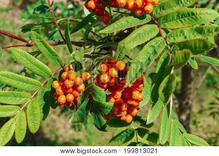 Ripening red bunches of mountain ash on a tree.