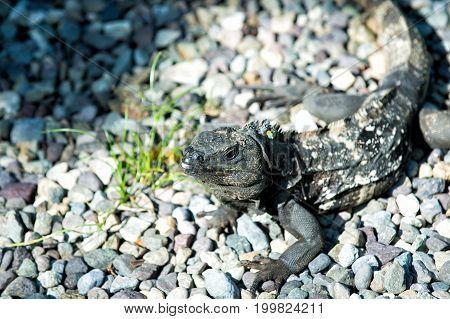 Iguana Lizard Sitting On Grey Stones In Honduras
