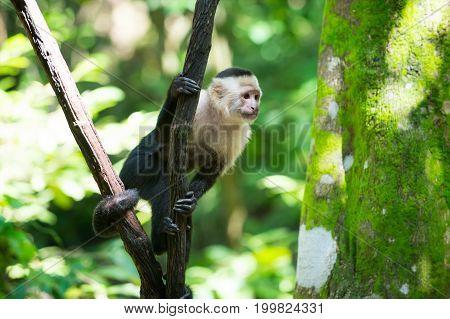 Monkey Capuchin Sitting On Tree Branch In Rainforest Of Honduras