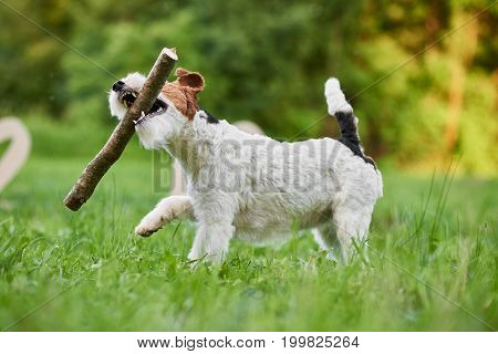 Shot of a cute happy dog playing with a stick in the park. Wire fox terrier running in the grass animals pets fun happiness active lifestyle nature concept.
