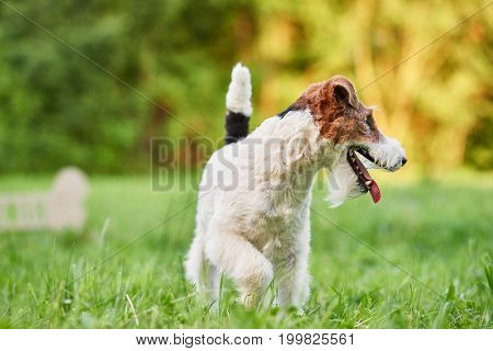 Shot of a wire fox terrier playing in the park running in the grass.