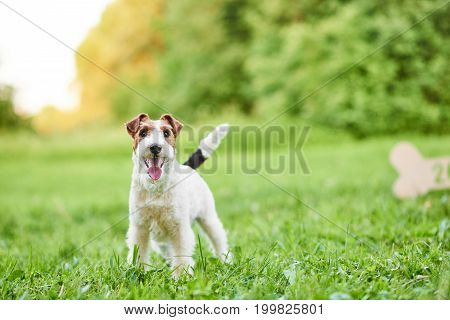 Shot of a happy healthy fox terrier standing on green fresh grass on a warm summer day copyspace dogs pets animals love friendship family concept.
