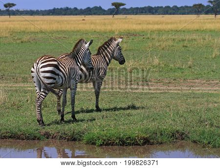 Two Burchells Zebra standing on the open plains of the Masai Marawith lush green plains and a blue sky with a slight reflection in a small pool of water Kenya