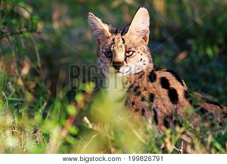 A solitary Serval Cat sitting among tall grasses on the plains of the masai mara national park kenya