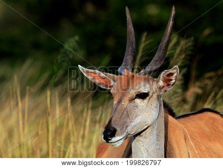close up of a young Eland (Taurotragus oryx) with a bushveld background in the masai mara national park kenya