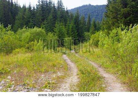 Dirt road in spruce forest in the Ukrainian Carpathians. Sustainable clear ecosystem.
