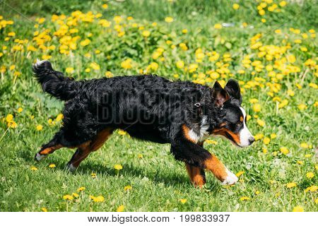 Farm Dog Bernese Mountain Dog Berner Sennenhund Playing Running Outdoor In Green Spring Meadow With Yellow Flowers. Playful Pet Outdoors. Bernese Cattle Dog