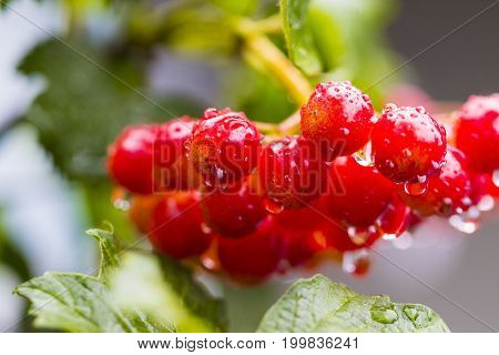 Bunch Of Red Berries Of Viburnum (guelder Rose) In Garden After Rain.