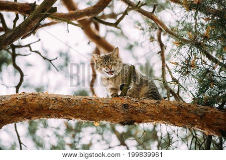 Screaming Meowing Adult Cat On A Pine Tree Branch At Spring Season.