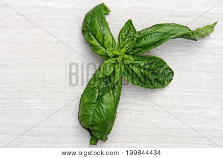 Freshly picked herb Basil on a stone background