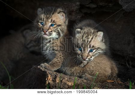 Bobcat Kittens (Lynx rufus) Peers Out from Log - captive animals