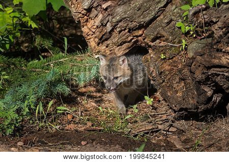 Grey Fox Kit (Urocyon cinereoargenteus) Come Out From Under Log - captive animal