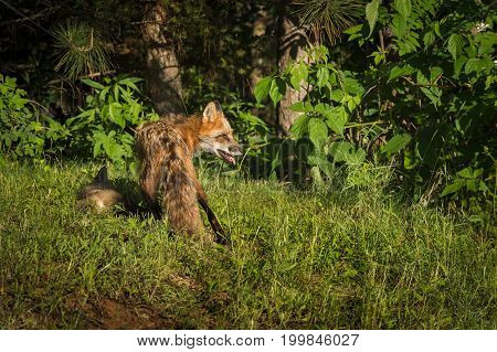 Red Fox Vixen (Vulpes vulpes) With Kit Behind Her - captive animals