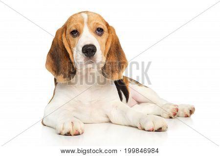 Beagle Puppy Posing