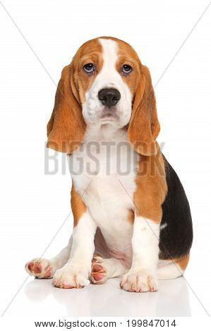 Beagle Puppy Sits