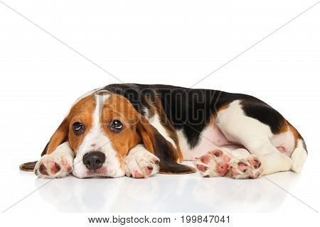 Beagle puppy resting on a  white background
