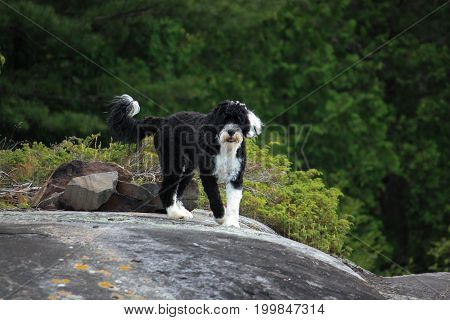 Portuguese Water Dog standing on a rock