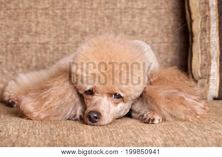 Apricot color miniature Poodle resting on sofa