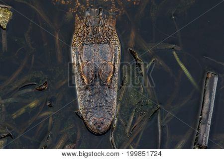 An American Alligator in a Florida wetland nature preserve