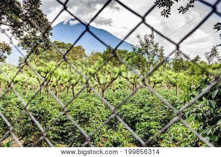 Agua volcano & coffee plantation viewed through fence near Antigua, Guatemala, Central America