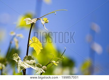 Mustache against grapes against the blue sky .