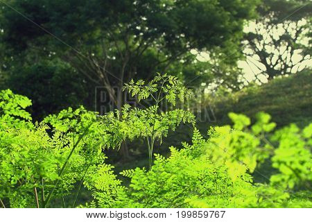 Moringa oleifera the most widely cultivated species of the genus Moringa, which is the only genus in the family Moringaceae
