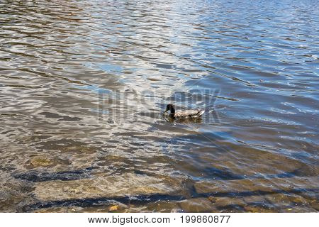 Birds and animals in wildlife. Funny mallard duck swims in lake or river with blue water