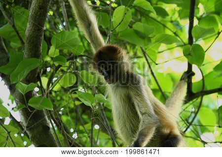 Spder Monkey in the Jungle of Costa Rica