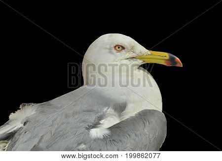 A close up of the seagull (Larus crassirostris). Isolated on black.