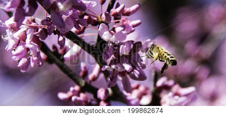 Closeup of a bee flying by pink flowers of a Redbud tree