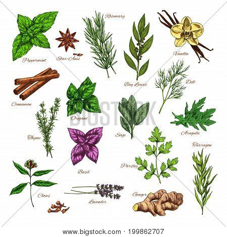 Culinary herb and spice sketch of mint and rosemary, basil, thyme, parsley and ginger, cinnamon and bay leaf, dill, vanilla, anise and arugula, lavender, oregano and tarragon, cloves, sage