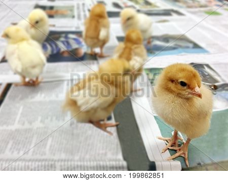 Little Newborn Chicks