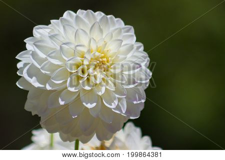 Large close-up Bright white or cream chrysanthemum illuminated by the sun with room for right hand copy.