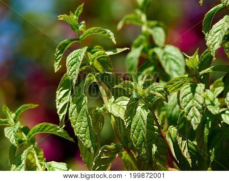 Green fresh mint plant grow in a garden with blurred out of focus background
