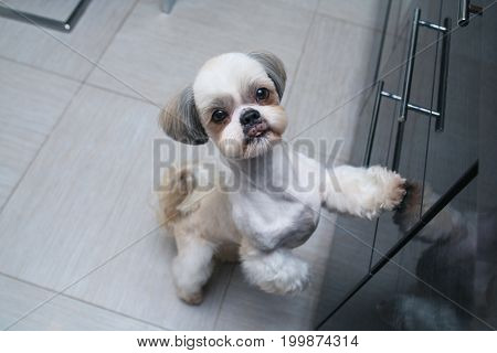 Shih tzu dog standing at kitchen and asking owner something to eat