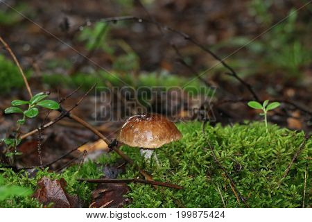 Mushroom In A Damp Forest After A Rain Near A Green Moss And An Old Stump With Autumn Yellow Leaves