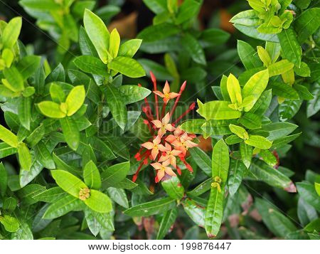 Red Ixora flowers are blooming with green leaf around.