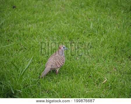 Turtle dove walking on the green grass.