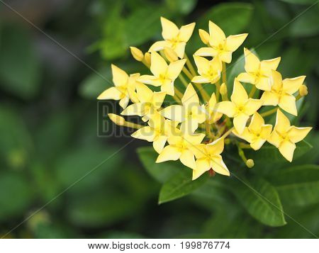Focus yellow Ixora flowers are blooming with green leaf around.
