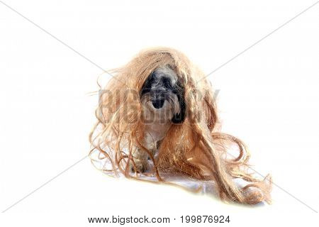 black and white dog. A black and white Havanese dog wears a blonde wig. isolated on white. room for text.