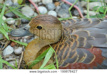 spotted whistling duck on ground in garden