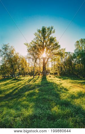 Sun Shining Through Trunk And Foliage Of Oak Tree At Spring Season. Deciduous Forest Summer Nature In Sunny Day. Sunset Or Sunrise Time.
