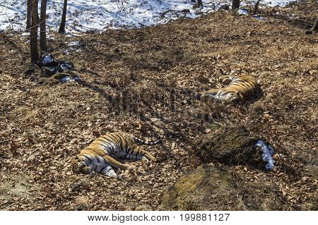 A pair of sleeping Amur tigers in the autumn forest.